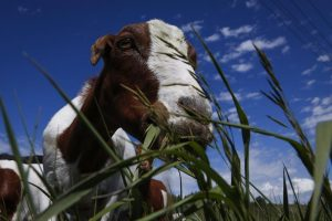 Alberta air force base to use goats, sheep to chew down unwanted vegetation