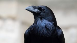 Stolen raven: Montreal area zoo urging those who took 'Kola' to return him